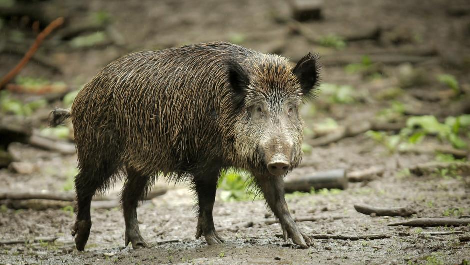 Tönnies beruhigt nach ASP-Nachweis beim Wildschwein in Brandenburg
