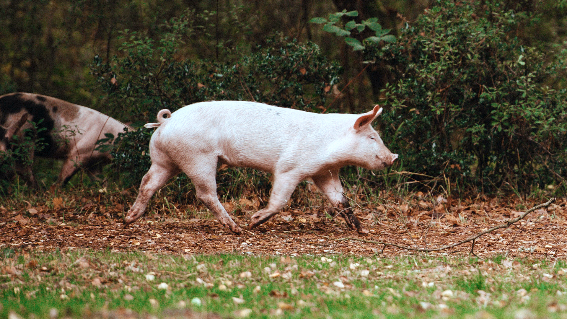 Tierärzte gegen Fristverlängerung bei Ferkelkastration