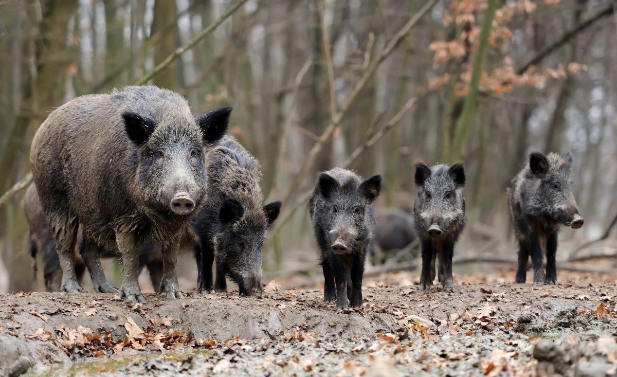 ASP-Impfstoff für Wildschweine?