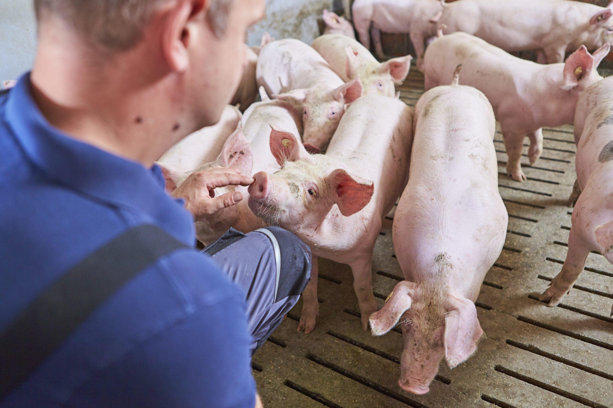 Landestierarzt mahnt ASP-Biosicherheits- maßnahmen für Landwirtschafts- betriebe an