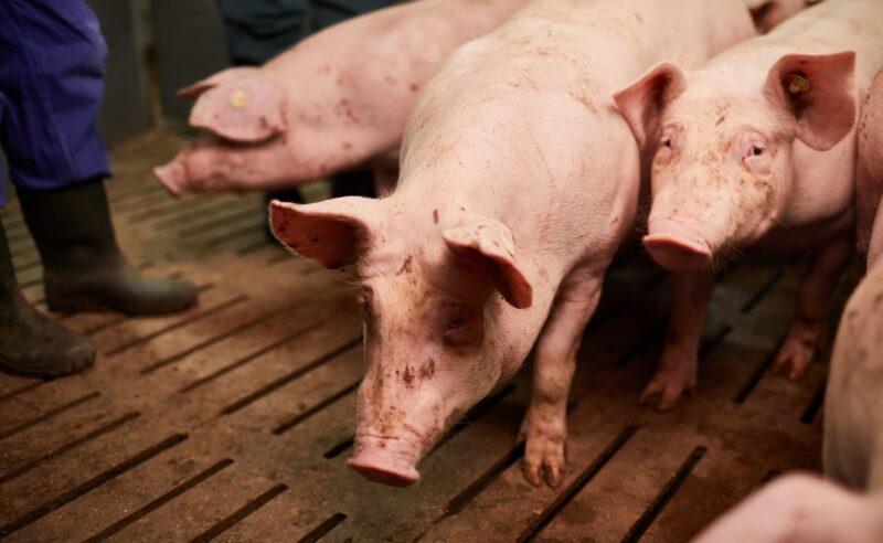 Tierschützer geben sich als Auditoren aus