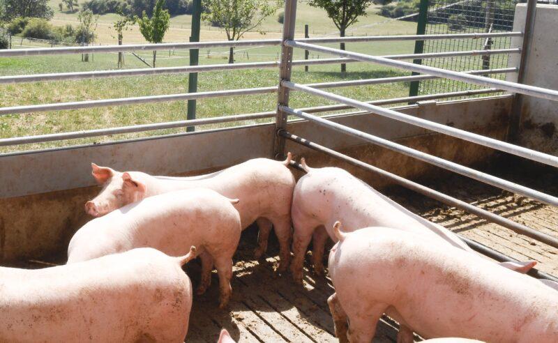 Aufruf zur Registrierung von ITW-Schweinen