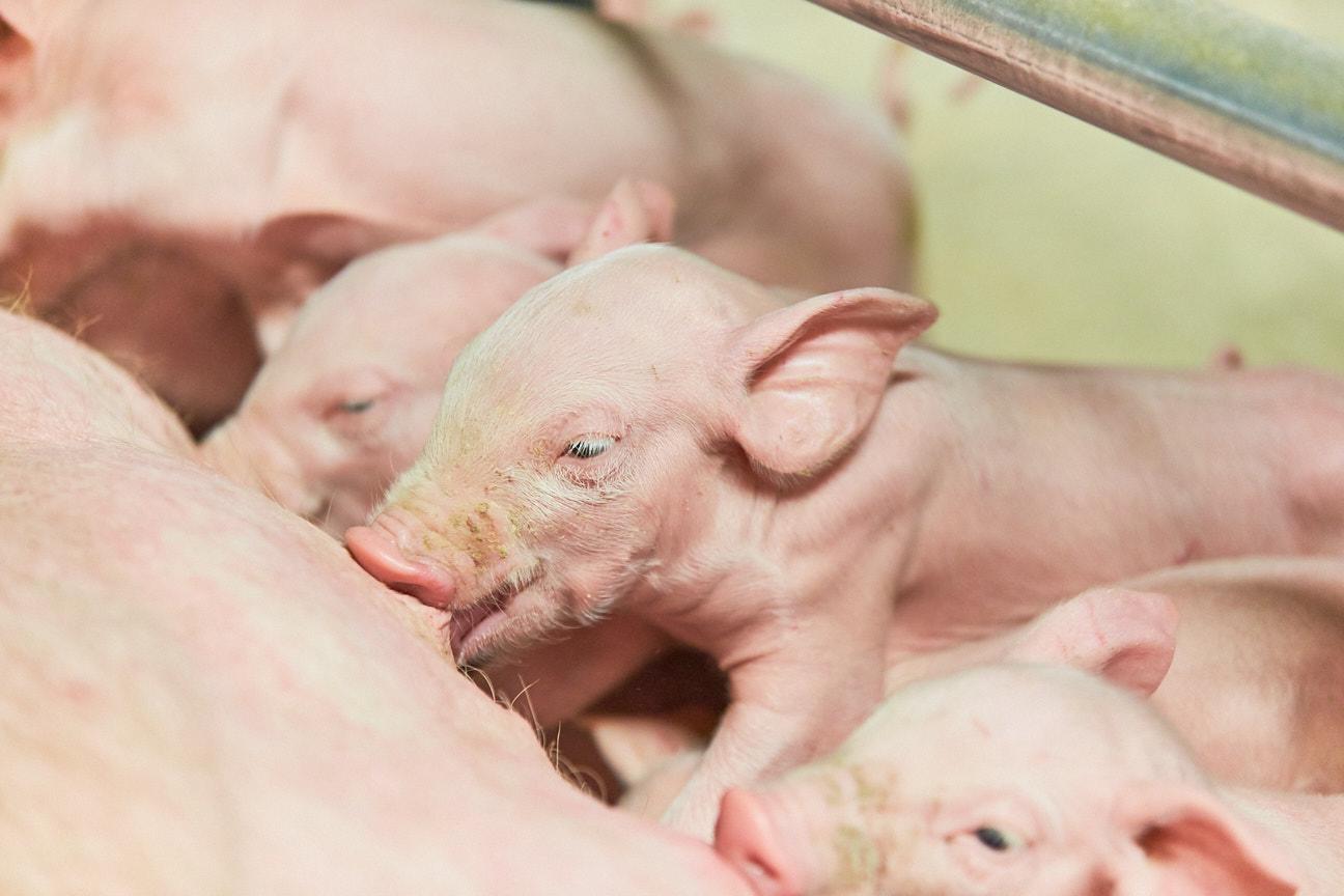 Ernährungsreport 2021: Junge Generation erwartet artgerechte Tierhaltung