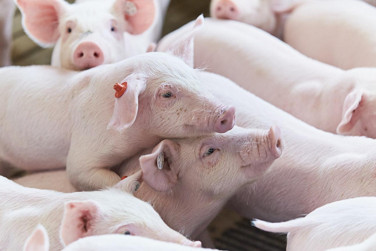BMEL fördert nachhaltige Nutztierzuchtprogramme
