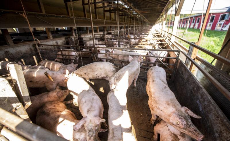 Klageschrift gegen die deutsche Schweinehaltung